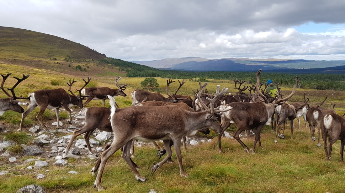 Reindeer Herd In the Cairngorms Scottish Highlands